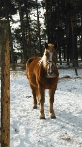 Hobune